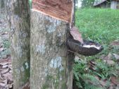 Use what nature provides: Collecting rubber