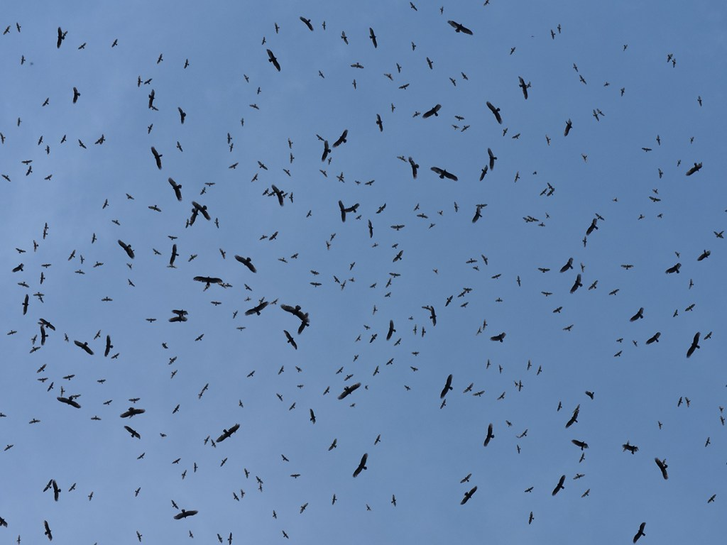 Raptor Migration - Costa Rica