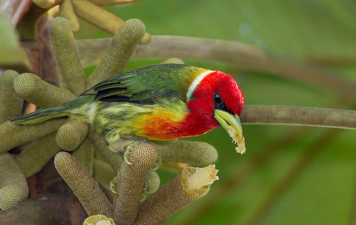 Red-headed Barbet - Ecuador
