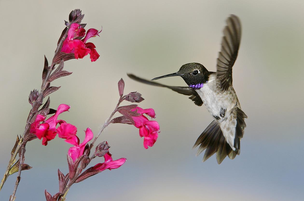 Black-chinned Hummingbird - Arizona
