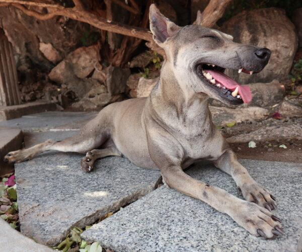 Prachuap Khiri Khan Hund
