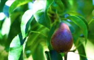 Purple Pears Growing