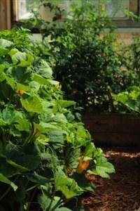 Lush Squash In The Greenhouse