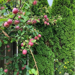 The Little But Mighty Apple Tree