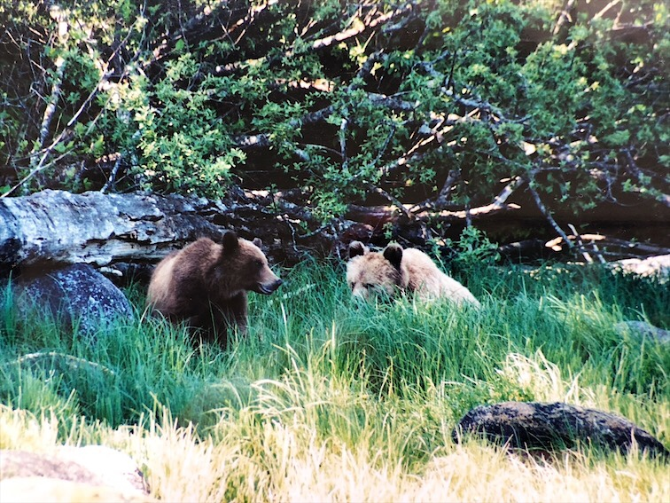 Grizzly Bears In Glendale Up Knights Inlet BC