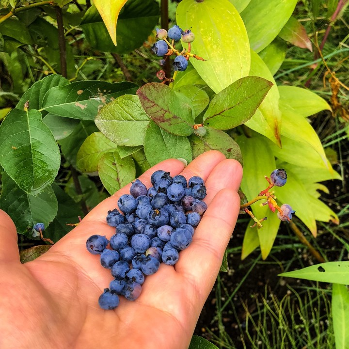 Picking Fresh Blueberries For Blueberry Oatmeal Muffins
