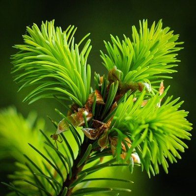 Foraging for Douglas Fir Tips In Spring
