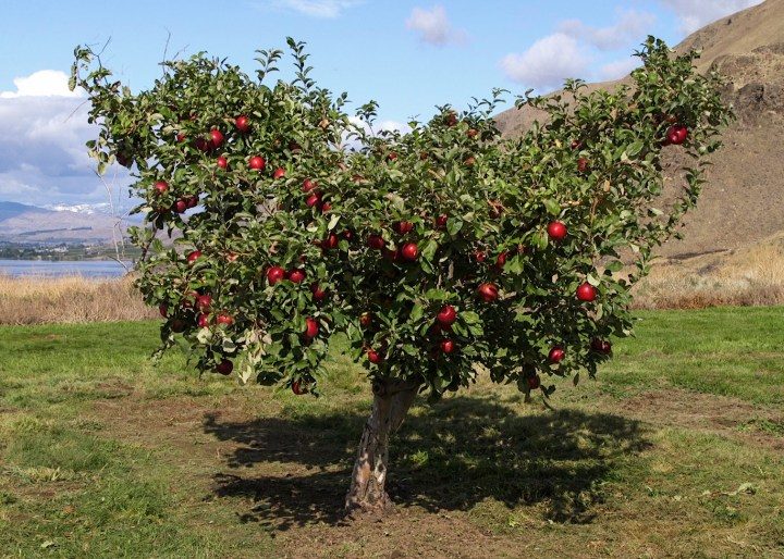 Best Health Food Apples Grow Well In Our Climate