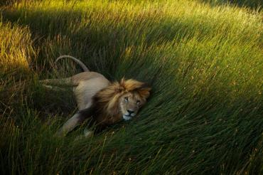 02-lion-day-gallery.ngsversion.1470853807228.adapt.676.1