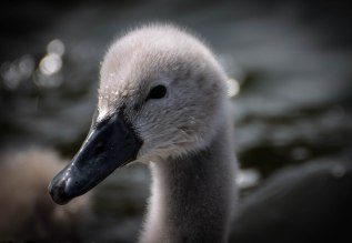 baby-swan