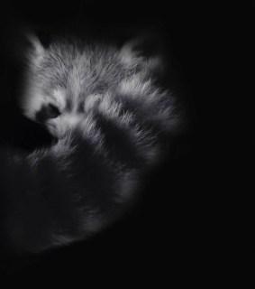 red-panda-in-monochrome