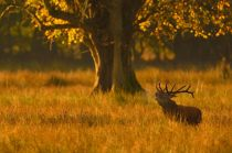 "3rd Projected Open: ""Irish Deer Stag in Morning Light"", Michael Murphy, Cork Camera Group"