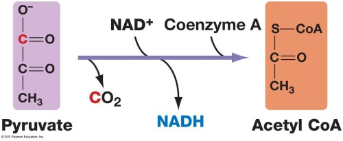 small resolution of the diagram above illustrates the conversion of pyruvate to acetyl coa