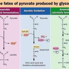 Electron Transport Chain Simple Diagram 2001 Ford Super Duty Wiring Fate Of Pyruvate Made From Glycolysis | Sachabiochem0001