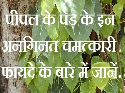 पीपल के पेड़ Ficus religiosa peepal tree unlimited benefits