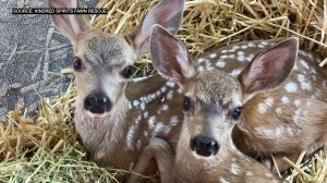 Loomis Wildlife Rescue Helps Recover Hundreds of Orphan Deer Each Year – CBS Sacramento
