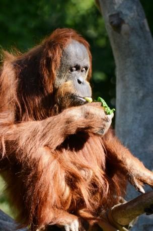 Sumatran Orangutan Eating Lettuce - photo by Tonja Candelaria