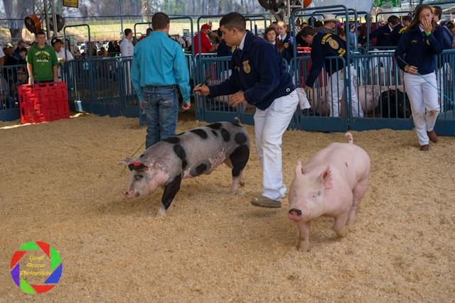 Livestock Competition during the Sacramento County Fair.