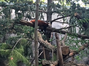 Picture of Sacramento Zoo Red Panda