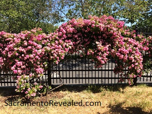 Photo of climbing roses at the Sacramento Historic Rose Garden