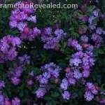 Photo of roses in the Sacramento Historic RoseGarden