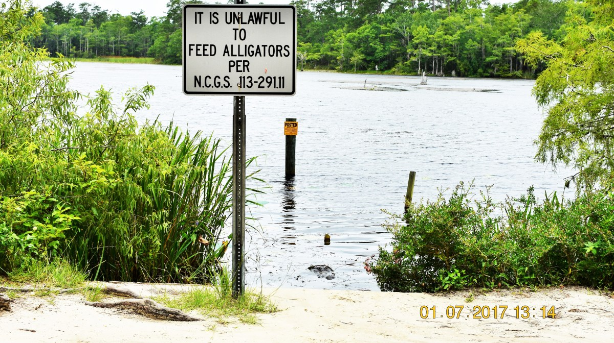"Brunswick County, North Carolina: An alligator says ""hello"""