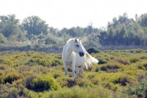 A wild white horse of the Carmague in France - France Sacred Sites Tour