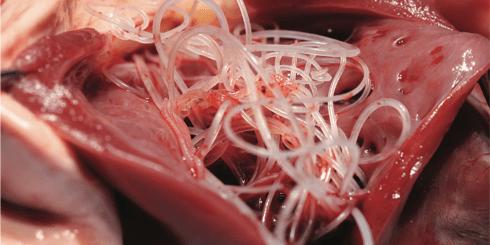 Filariosi Cardio Polmonare nel Cane e nel Gatto