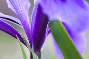 Iris douglasiana