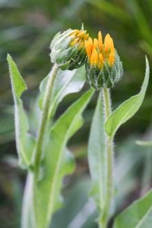 Narrow-leafed wyethia