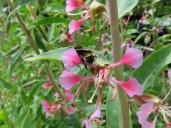 Bee on Clarkia unguiculata_Elegant Clarkia_1819