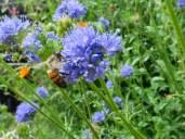 Bee on Gilia achilleifolia_California Gilia_1820
