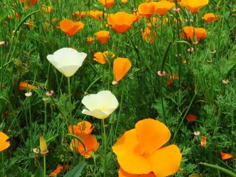 Eschscholzia californica_California Poppy_1823
