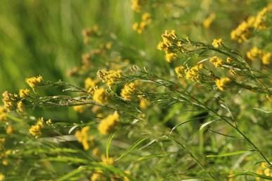 Euthamia occidentalis
