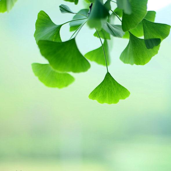 Экстракт гинкго билоба: противопоказания и применение. Полезные растения