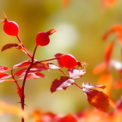Посадка шиповника семенами осенью