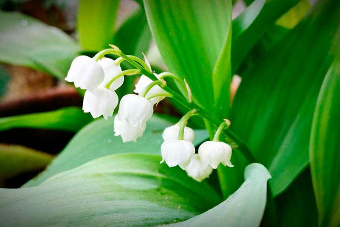 Ядовитое растение ландыш применение лечебные свойства заготовка