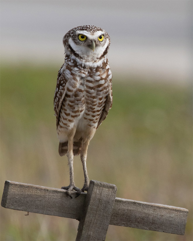 Owl Legs : Actual, Length, Never, Being, Funny