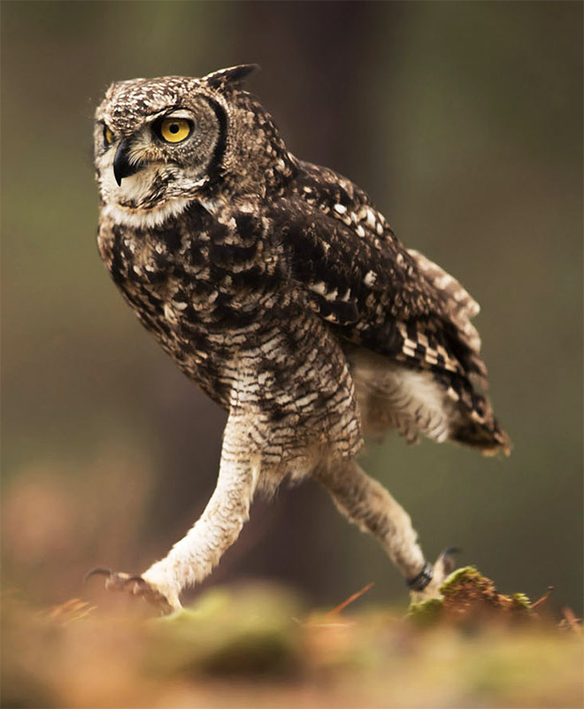 Do Owls Really Have Long Legs : really, Actual, Length, Never, Being, Funny