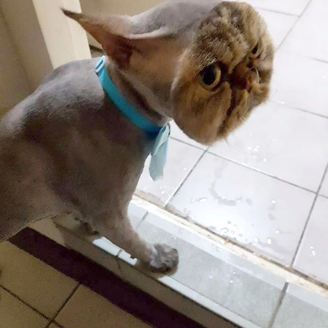 When cats get a new hairstyle for surgery...