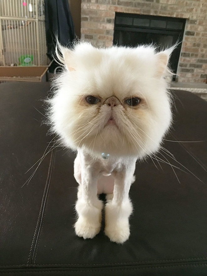 Persian Cat Lion Cut : persian, Happy, About, Their, Haircuts