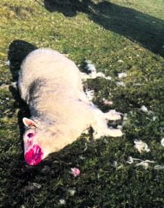 p5 dead sheep pic