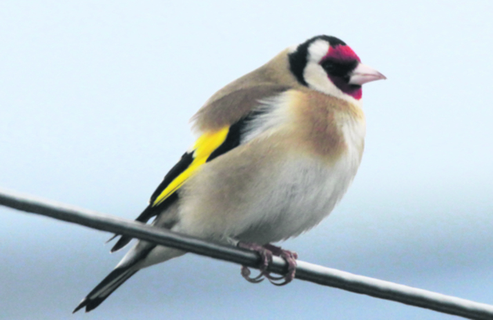 p8 GOLD FINCH online cyril fogg