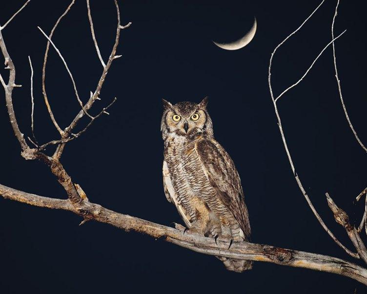 Owl under moonlight