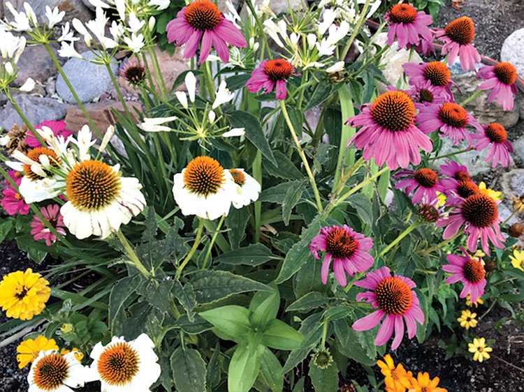 Red coneflower turns white and purple in the Grabell garden.