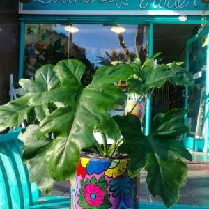 Sadhana Garden Arte Vida Plantas Materos Flores Matas Balcones Decoración Deco Art Decor Mantenimiento Buenos Aires BsAs Argentina Diseño Natural Nature Plantas Philodendron Guambe