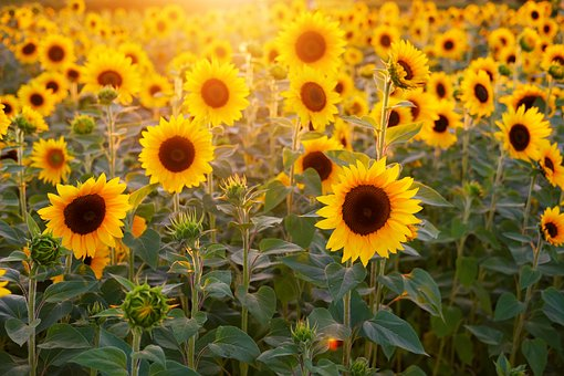 sunflowers and rays of sun
