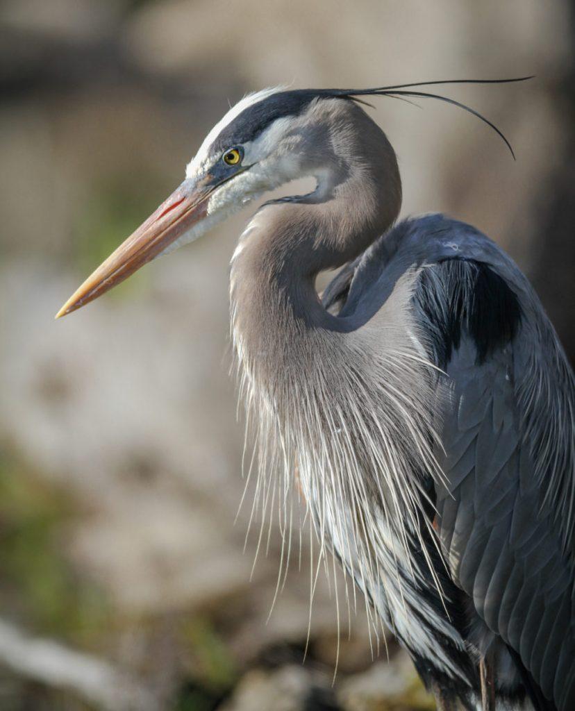 Great Blue Heron by Rick McMeechan