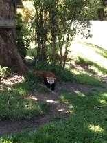 Hamilton Zoo- Red Panda