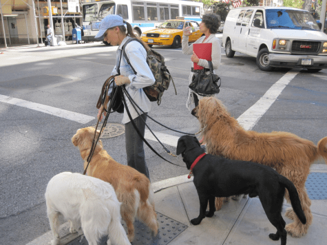 New York dog walker with four dogs about to cross street